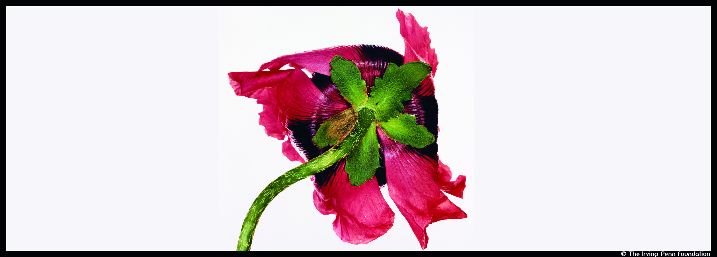 Couv_Irving Penn-Single Oriental Poppy_© The Irving Penn Foundation_@loeildoliv